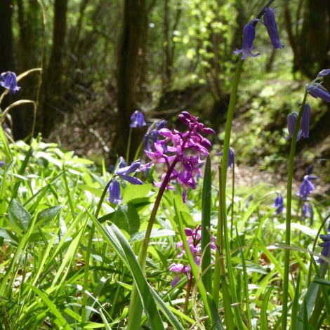 Orchids and bluebells 4